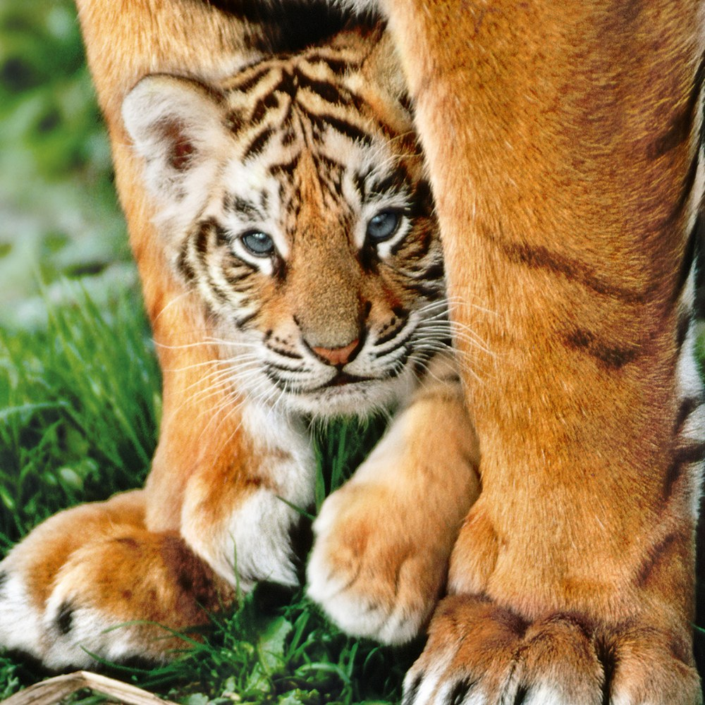 Alternate Image #2 of Bengal Tiger Cub - 500 Piece Puzzle - High Quality Collection