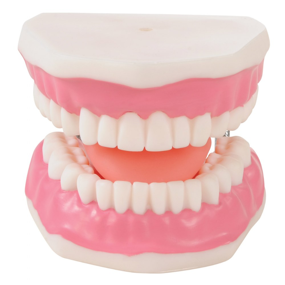 Alternate Image #2 of Healthy Smiles Dental Model
