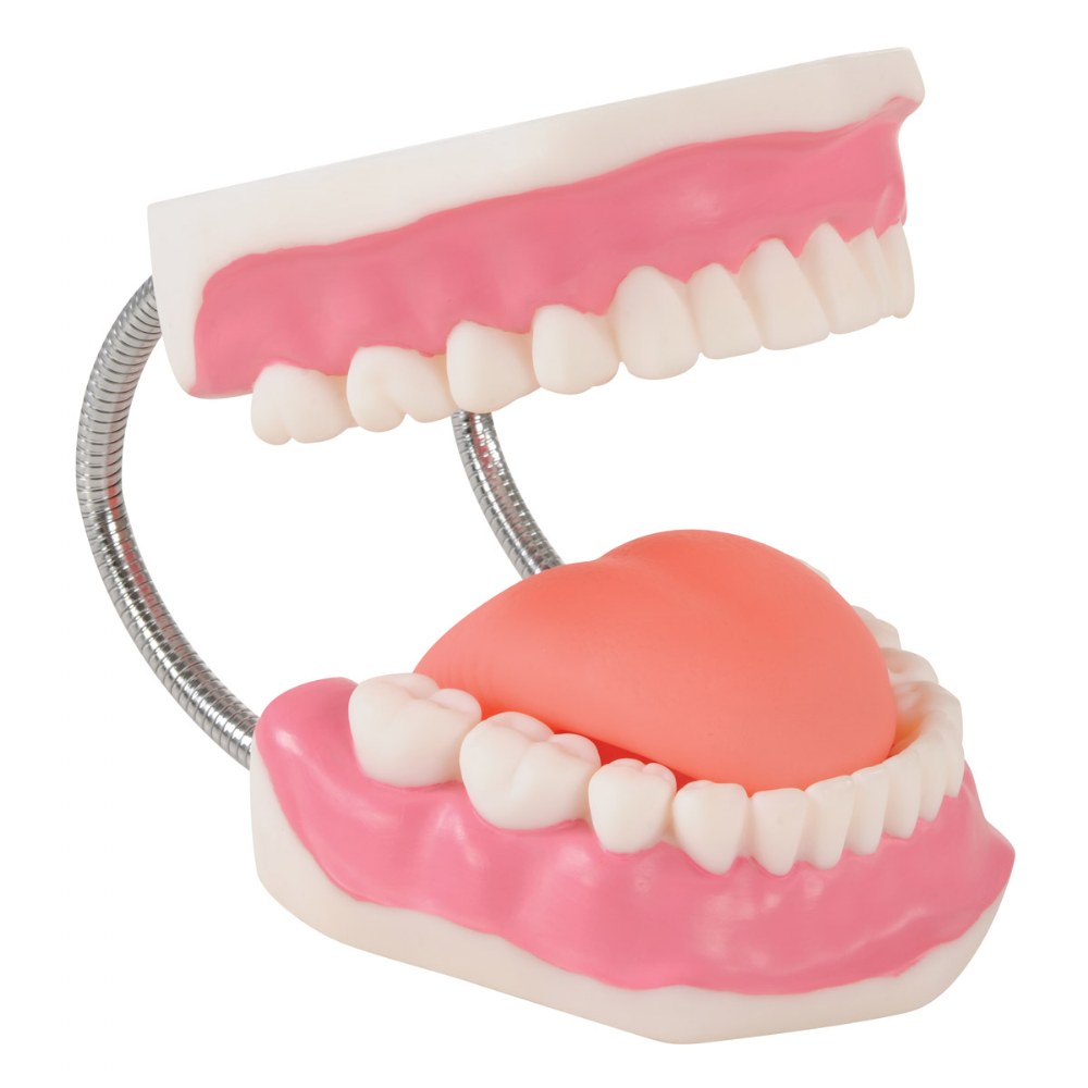 Alternate Image #4 of Healthy Smiles Dental Model