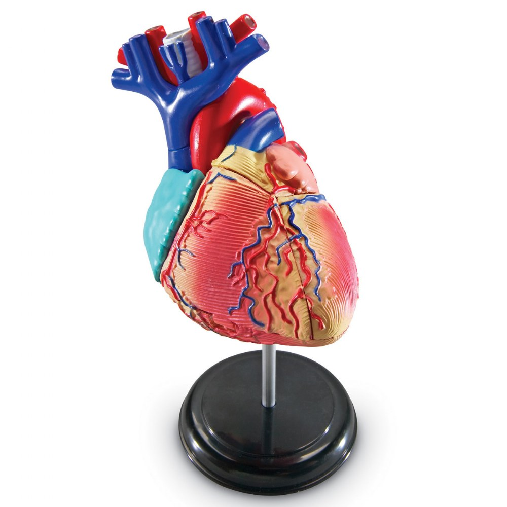 Heart Anatomy Model