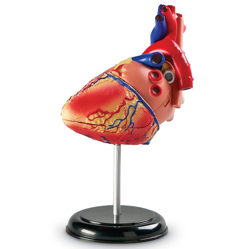 Alternate Image #1 of Heart Anatomy Model