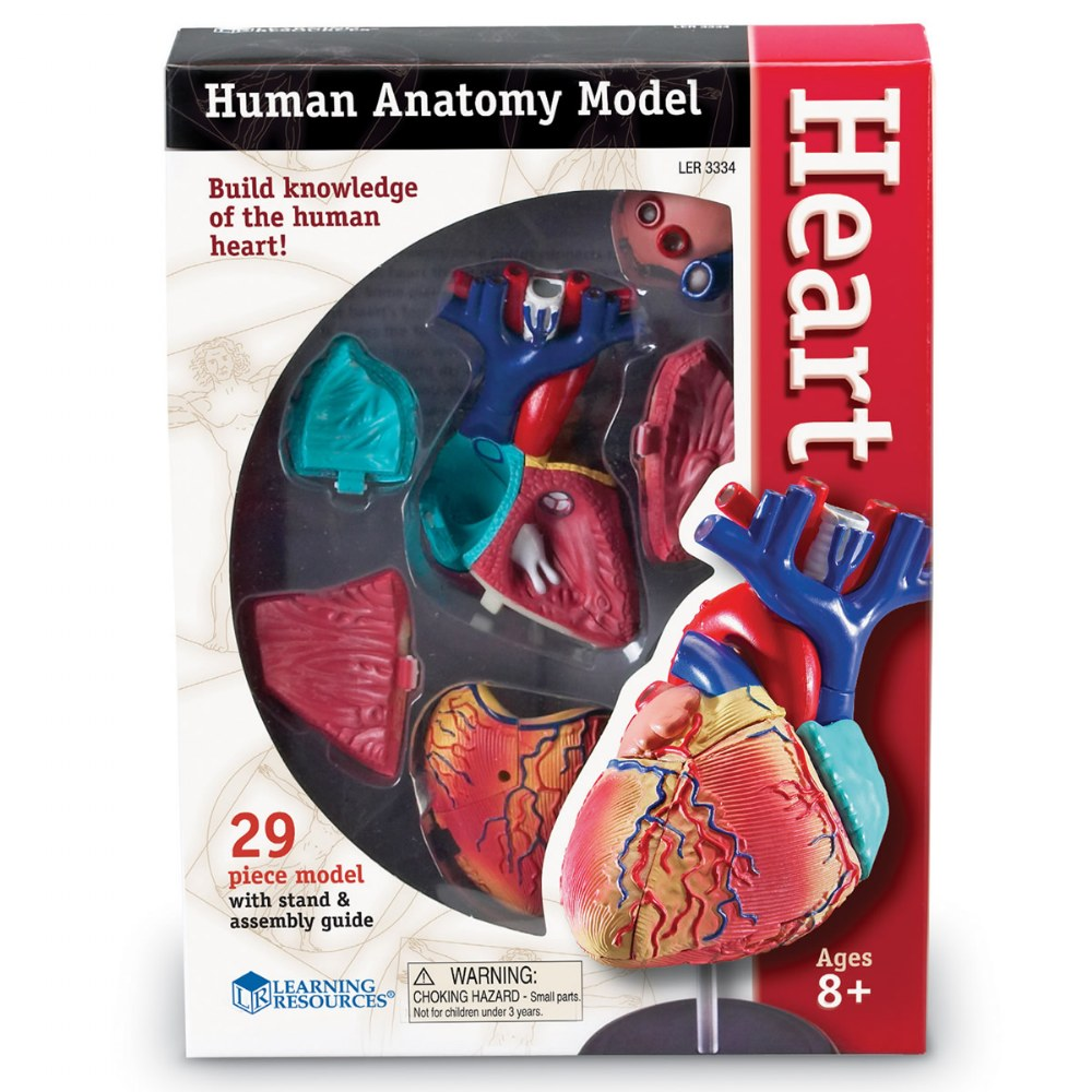 Alternate Image #3 of Heart Anatomy Model