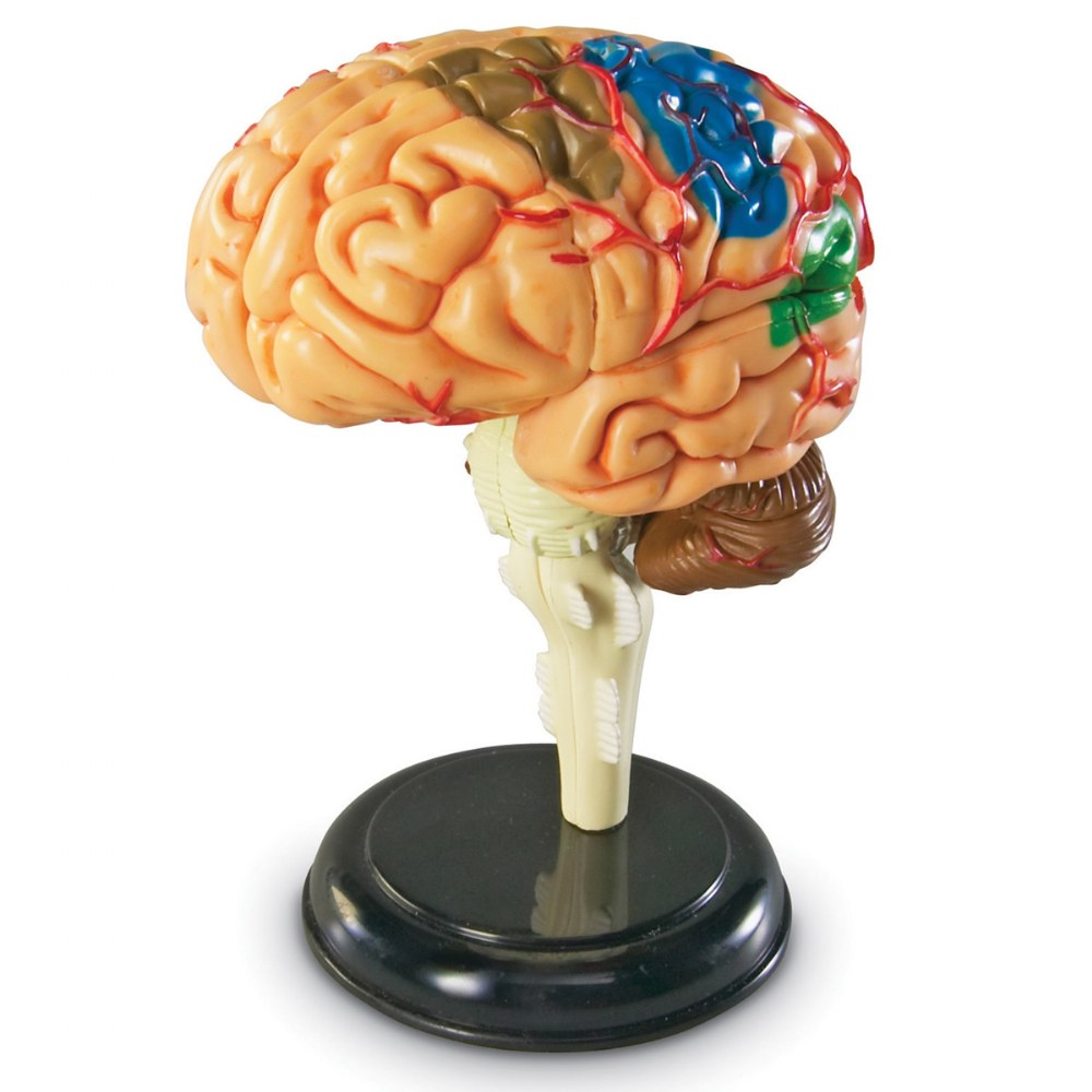 Brain Anatomy Realistic Model