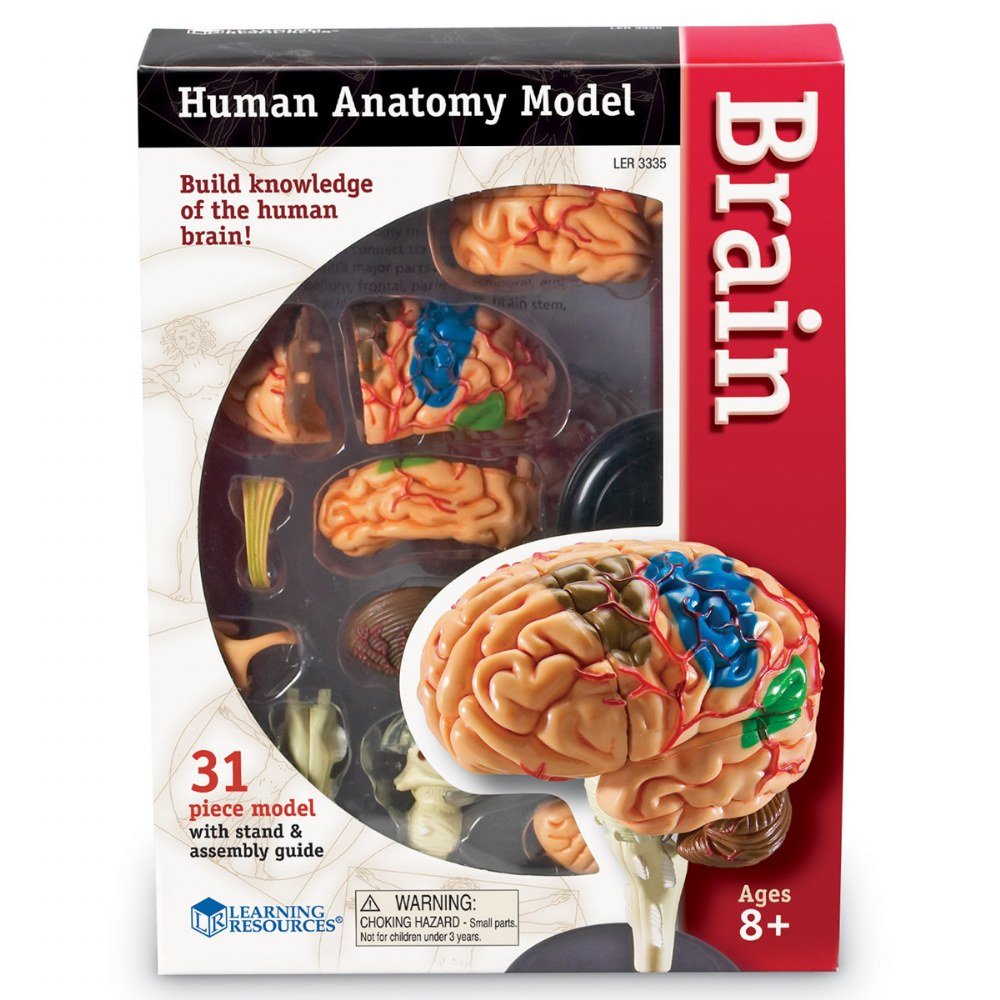 Alternate Image #1 of Brain Anatomy Realistic Model