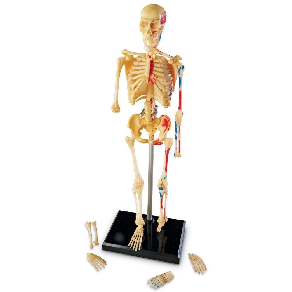Alternate Image #1 of Skeleton Model
