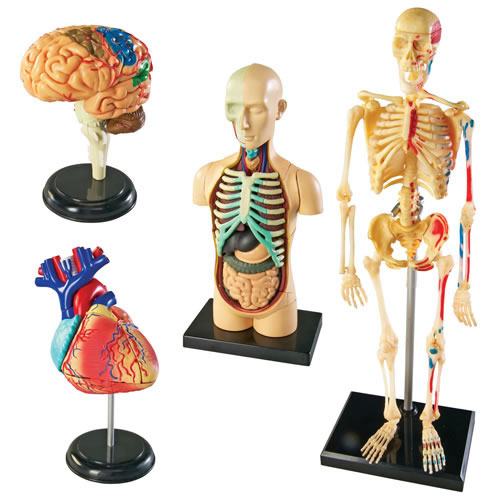 Anatomy Models Set (4 Models)