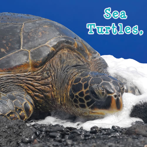 Sea Turtles, What Do You Do? - Board Book