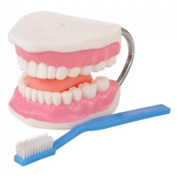 Healthy Smiles Dental Model
