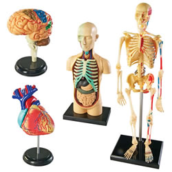 Anatomy Models Set (all 4 models)