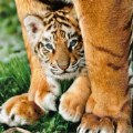 Alternate Thumbnail Image #2 of Bengal Tiger Cub - 500 Piece Puzzle - High Quality Collection